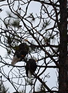I was fortunate enough to see three eagles today while out on my photo drive.